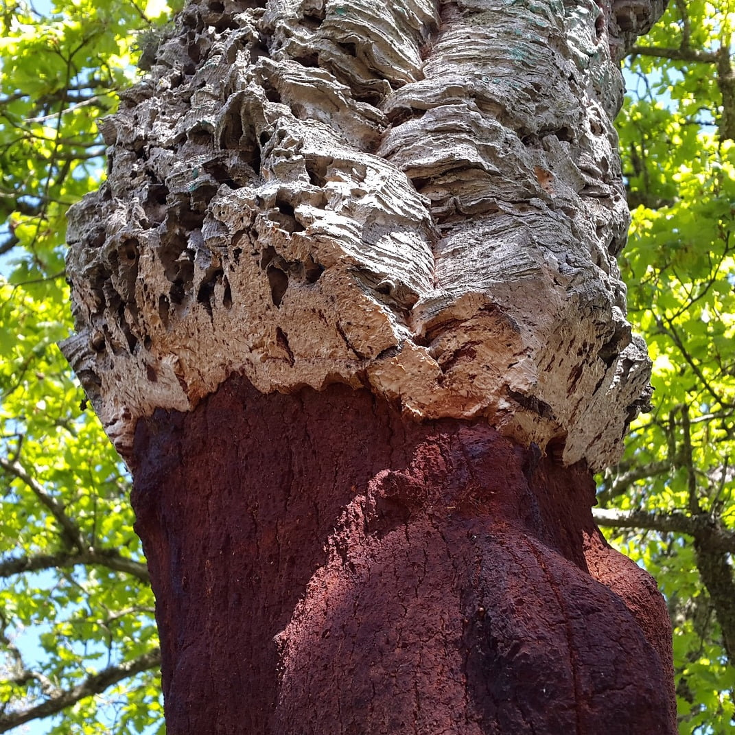 Cork oak tree after harvesting. The first stage of cork leather production